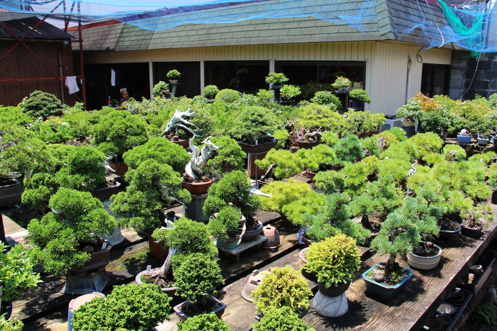 NORDIC NEBARI By Kenneth Olsen KOJUEN SHOHIN BONSAI NURSERY KYOTO