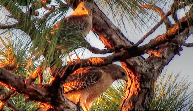 Red Shouldered Hawk Long Leaf Pine Tree Florida
