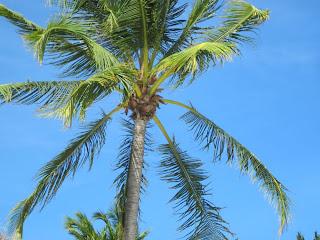 Palm Tree in Aruba
