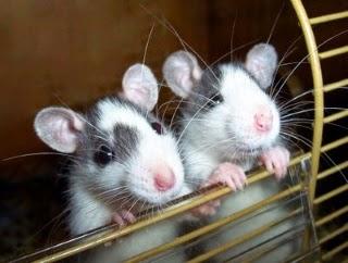 Dos ratas en un laberinto