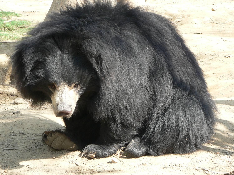 http://2.bp.blogspot.com/-2WXzWLk3ZCo/TbBHKsUmQYI/AAAAAAAACPQ/NtFymMxioMI/s1600/Sloth+Bear.jpg