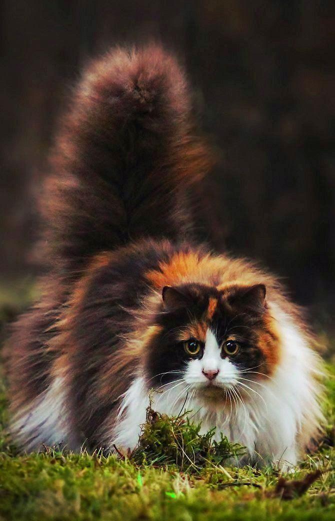 Top 5 Biggest Domestic Cats