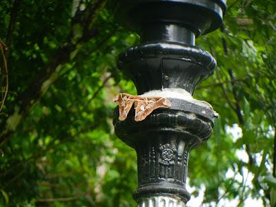 Rothschild's Moth