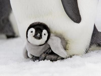Chim cánh cụt con đáng yêu,
