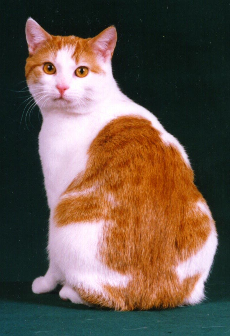 The Manx Is A Breed Of Cat With No Tail