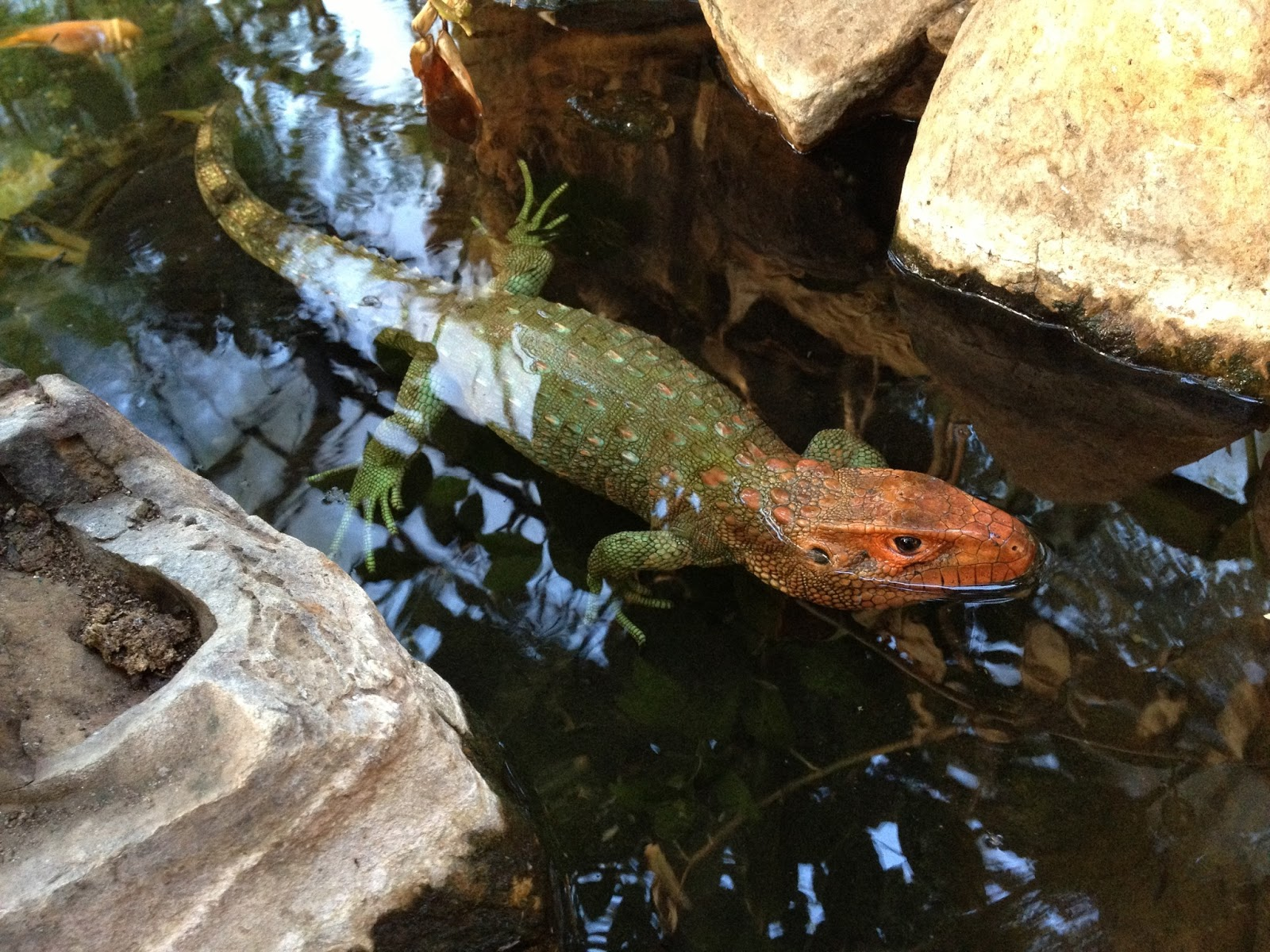 Sun pet for Water lizard fish