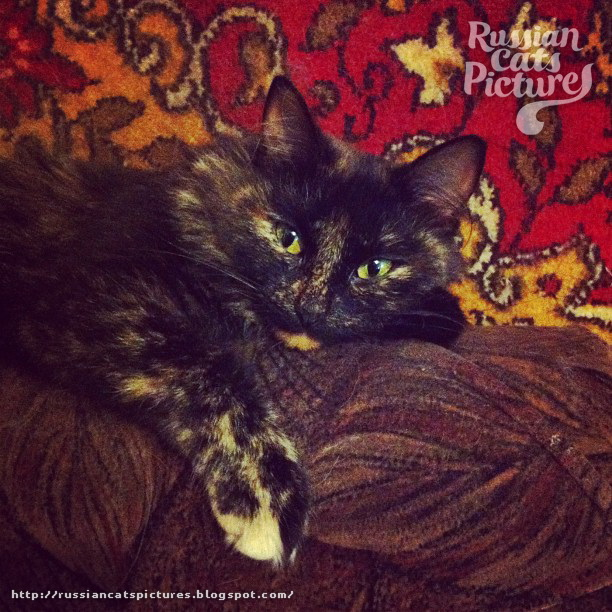 Domestic Instacats: Tortoiseshell Kitty Cat 02