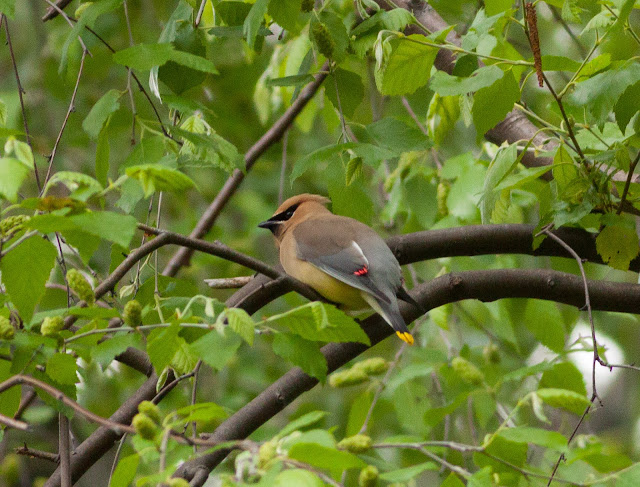 Cedar Waxwing - Central Park, New York