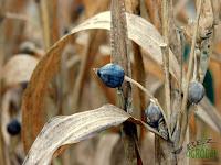 nasiona łzawica ogrodowa