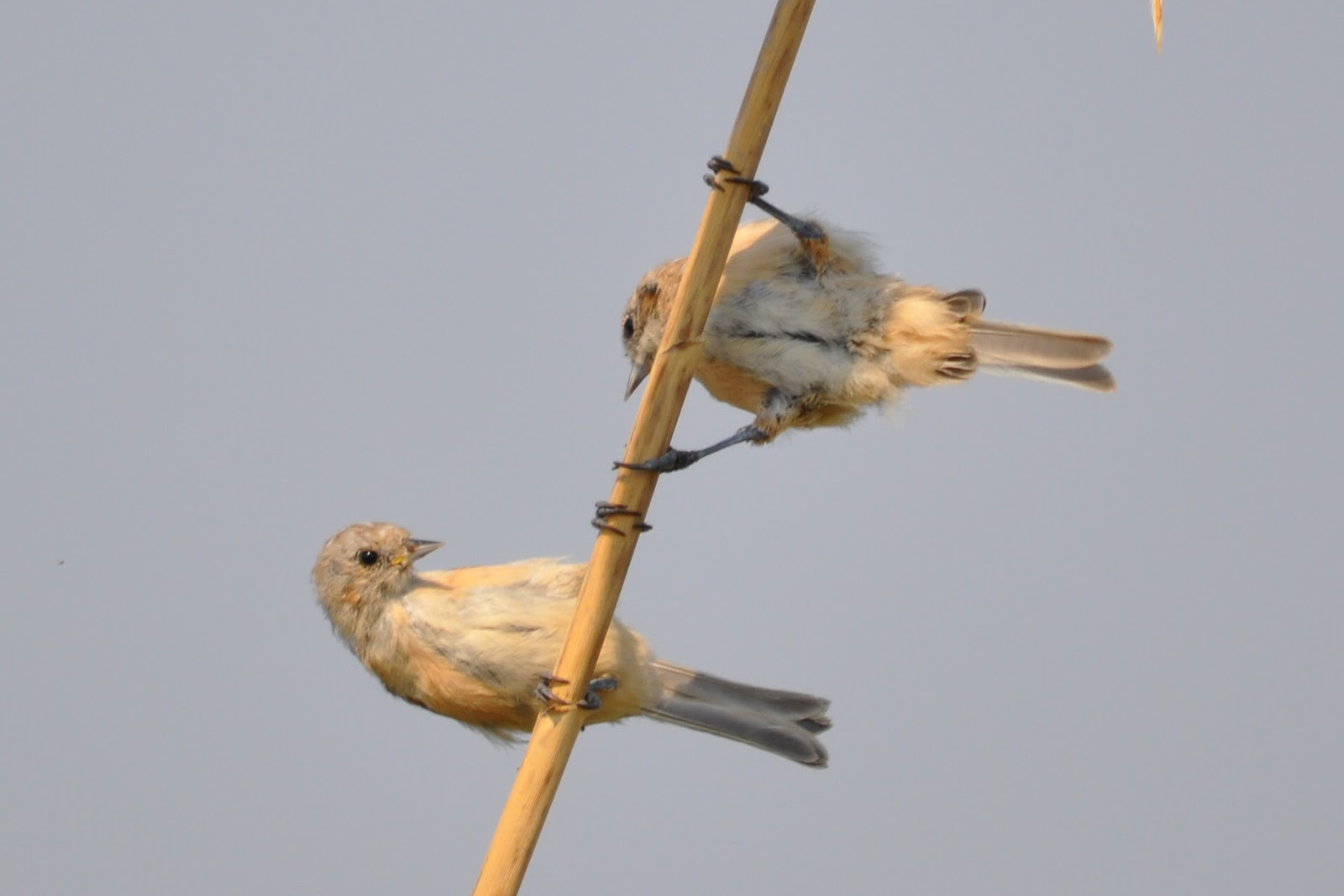 Two Penduline Tits