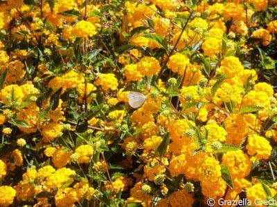 malta yellow lantana