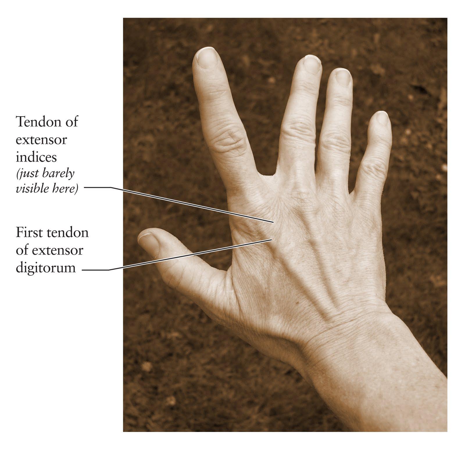 human anatomy for the artist the dorsal hand the dorsal