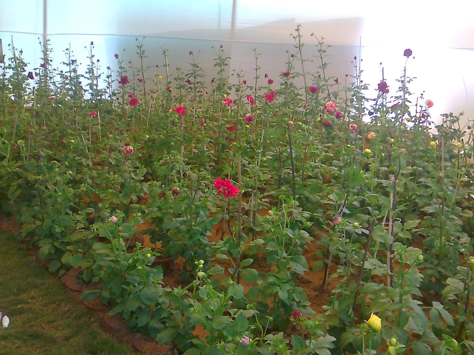 dahliya flower plant
