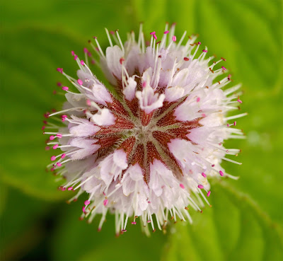 Water Mint Mentha aquatica flower