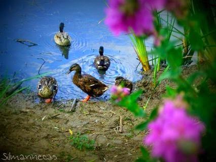 Patos en L´Ullal del Marjal de Gandia
