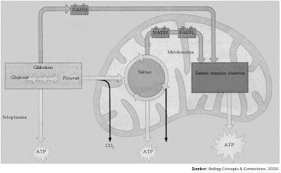 tahap reaksi sistem respirasi sel pada mitokondria