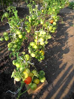 Грядка детерминантных помидоров, листья удалены