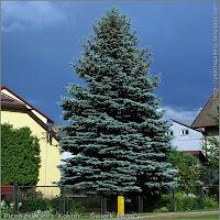 Picea pungens 'Koster' habit - Świerk kłujący 'Koster' pokrój