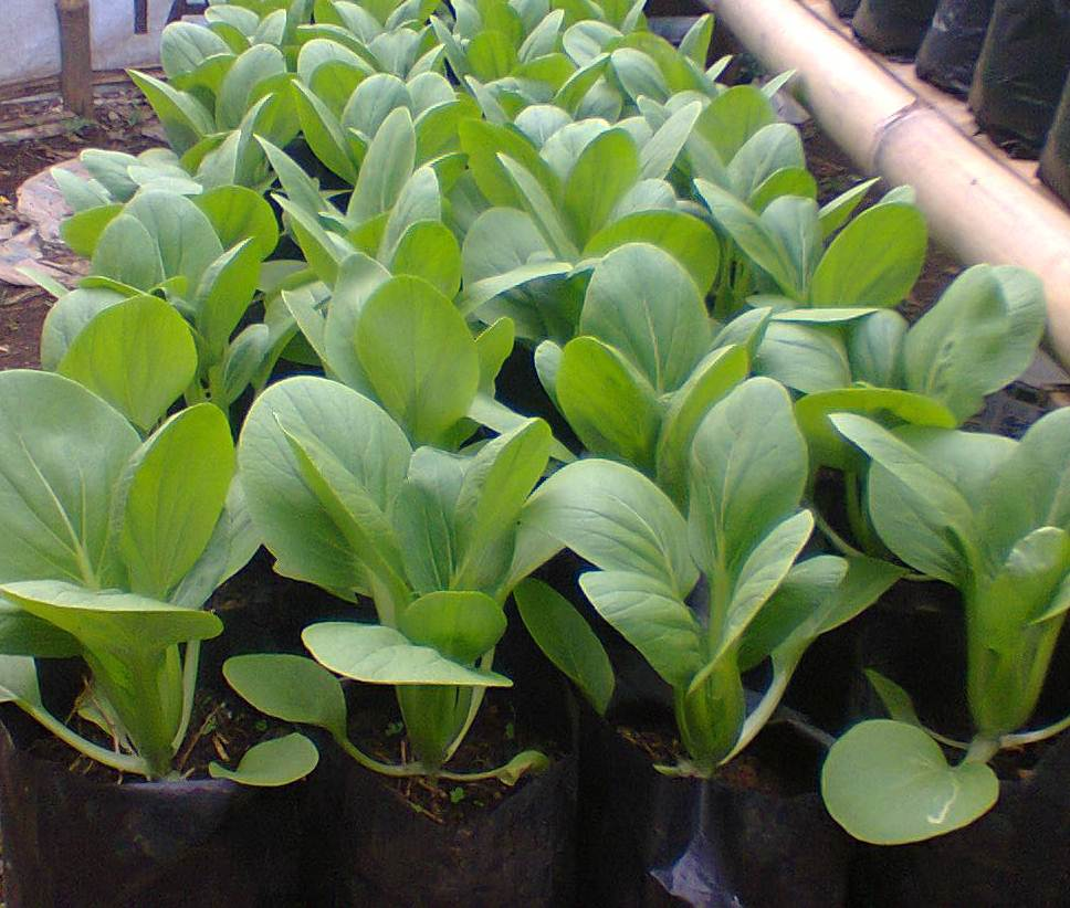 tips on how to grow plants mustard in the pot or polybag correctly