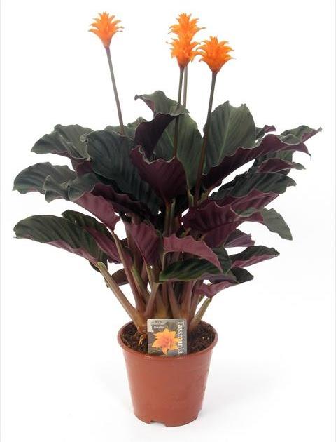 Come coltivare schede di coltivazione di piante e fiori for Maranta pianta