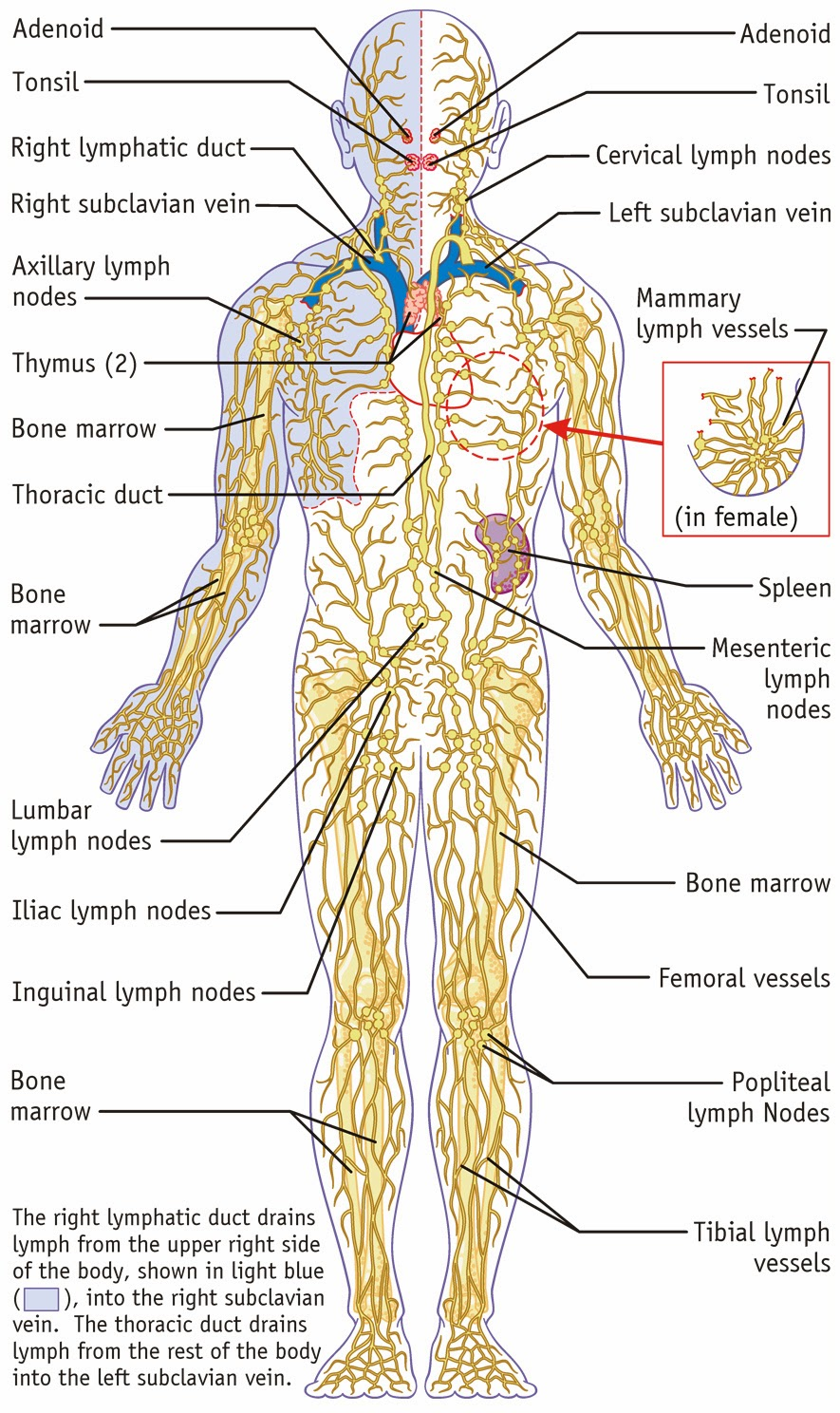 Essential Oils For Lymphatic System Using Therapeutic Grade