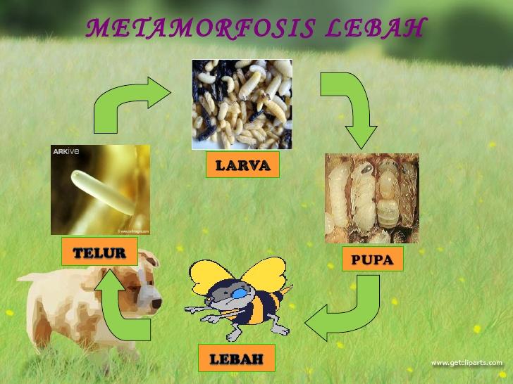 Tugas Biologi Dasar (Metamorfosis): Tugas Biologi Dasar ...
