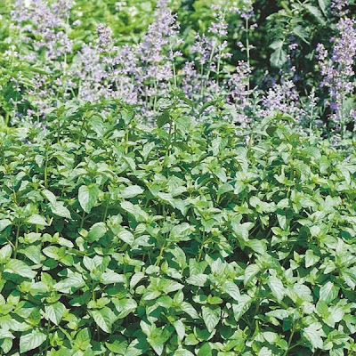 Orange Mint (Mentha x Piperita Citrata) Overview, Health Benefits, Side effects