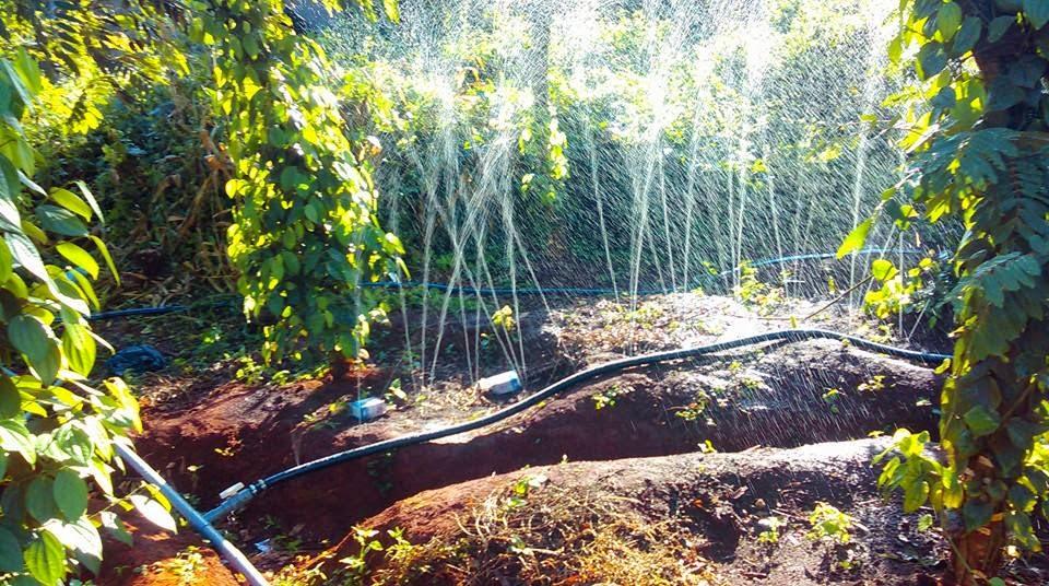 dây tưới phun mưa đài loan cho cây hồ tiêu