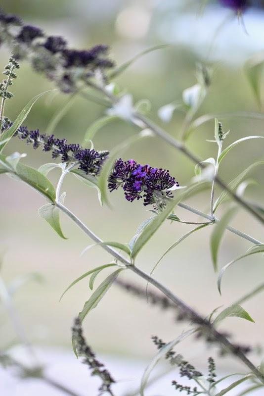 flerfarvet sommerfuglebusk