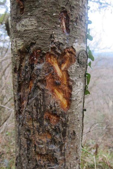Marcas de Jabalí en árboles