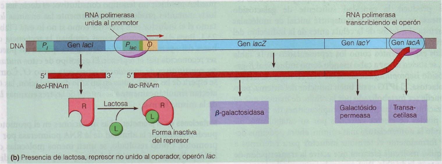 Transcripción en eucariotas   Apuntes de Bioquímica