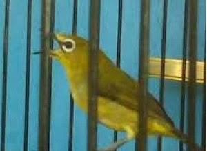 Cara Paling Ampuh Memaksimalkan Volume Suara Kicauan Burung Pleci