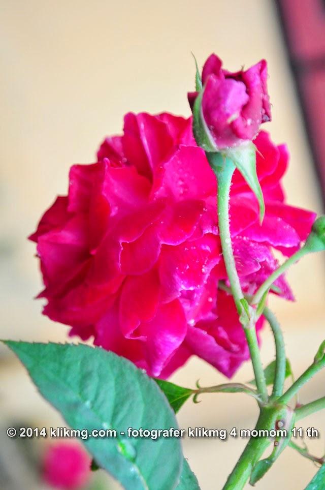 Pesona kembang dan bunga foto oleh klikmg.com fotografer 4 momom 11 th