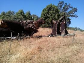 Navahermosa: la muerte de un alcornoque anunciada