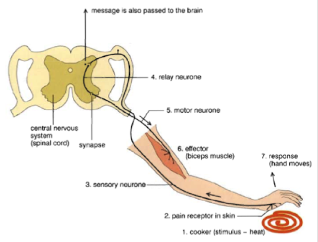 Quaddo Science  Reflex Action And Reflex Arc