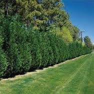 Leyland Cypress for privacy.