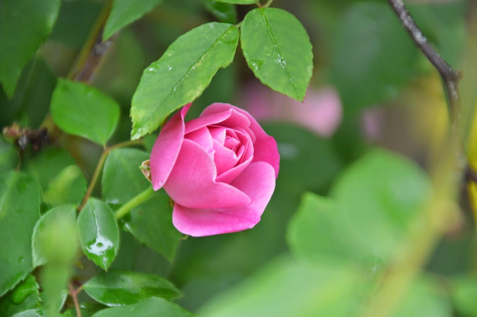 jeannie 39 s fairy rose louisiana garden old blush in spring. Black Bedroom Furniture Sets. Home Design Ideas