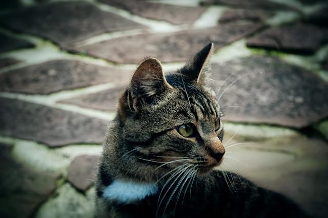 gato carmona cantabria fauna