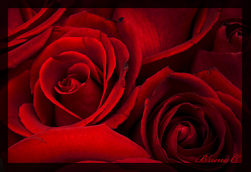 Imagenes De Rosas Rojas Para Facebook