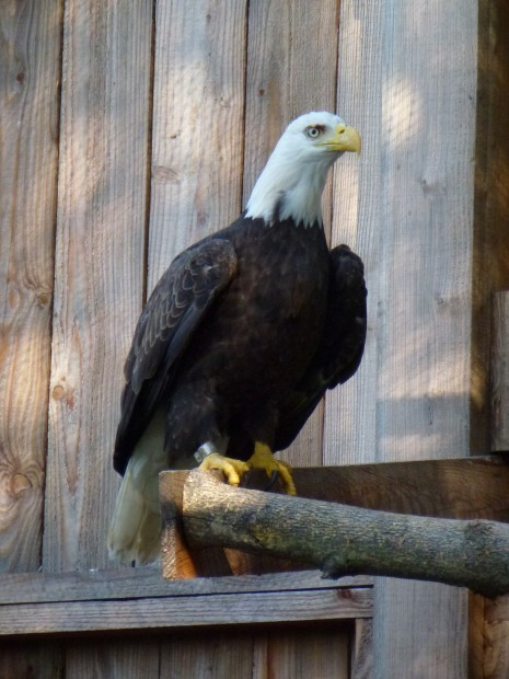 Injured Bald Eagle is rescued,rehabbed and released back into the sky