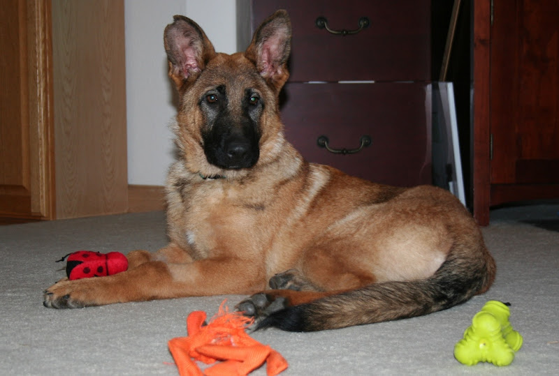 kira sitting alertly and looking straight ahead with several toys scattered in front of her