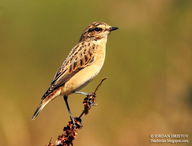 Whinchat photography