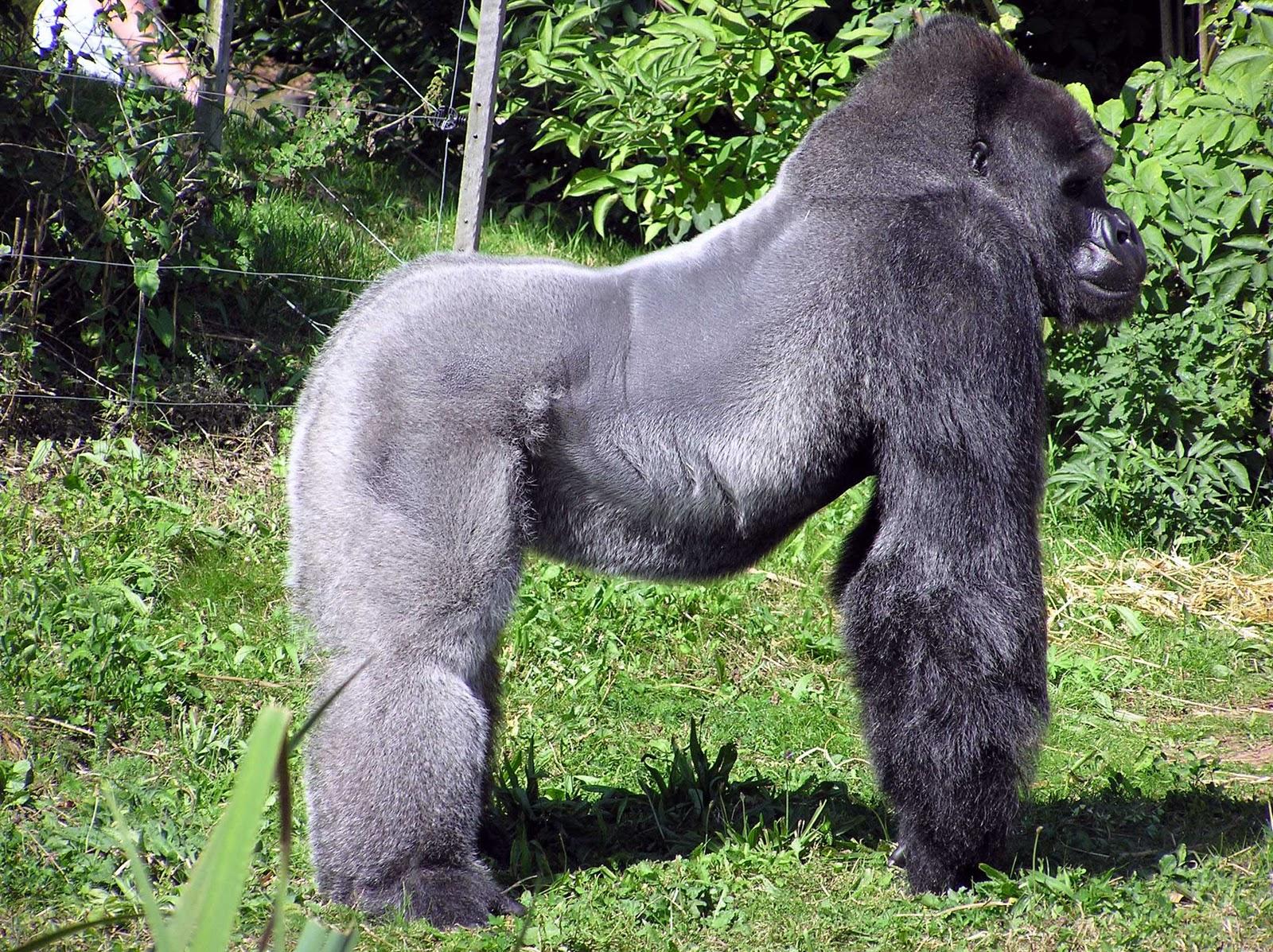 Lowland Western Silverback Gorilla