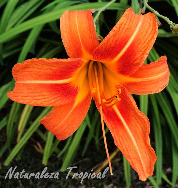 Flor característica del Lirio de día, Hemerocallis fulva