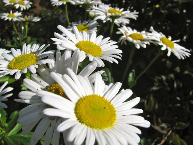 Winter-and-Montauk-Daisies