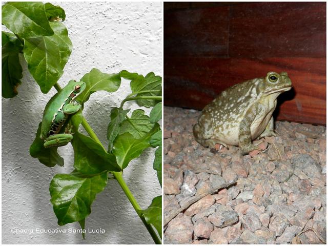 Rana trepando - Sapo cazando insectos - Chacra Educativa Santa Lucía
