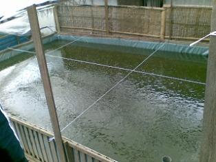 Cara Beternak Ikan Gurame Di Kolam Terpal
