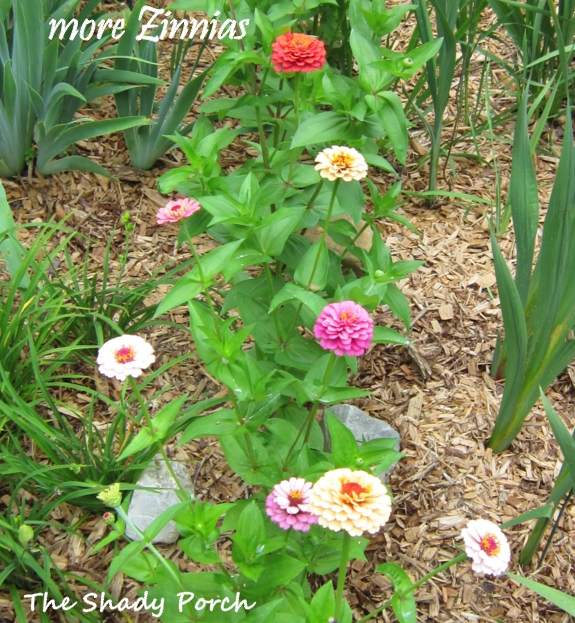 Zinnia Magellan from The Shady Porch #garden #flowers #gardening