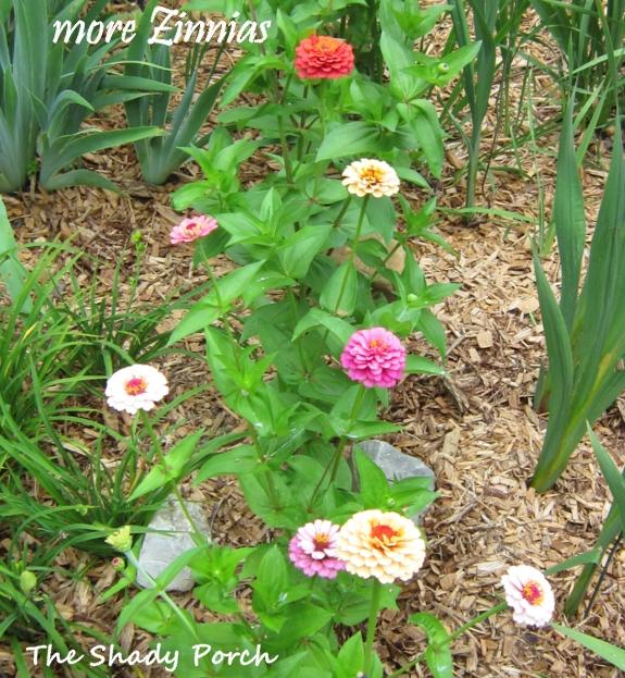 Zinnia Magellan from The Shady Porch #garden #flowers #gardening