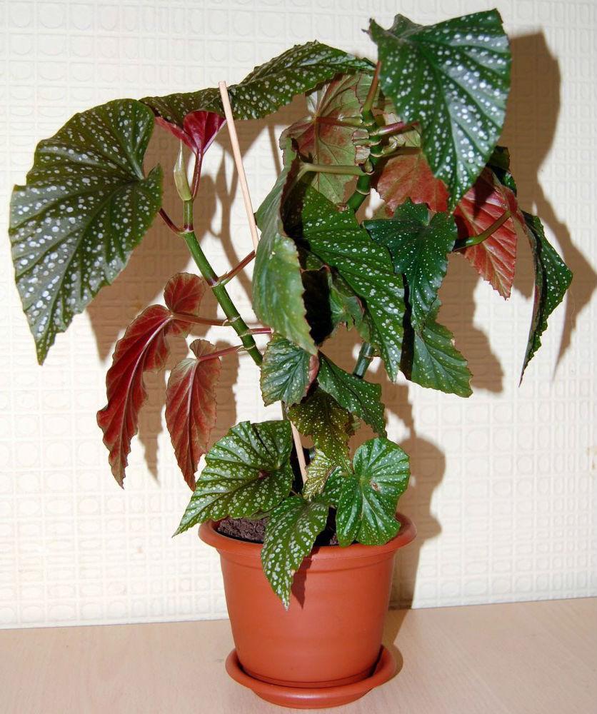 Время годанаши комнатные растения